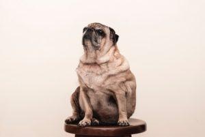Pet Obesity MCAH