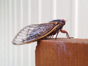 Cicadas Cat and Dog Health MCAH Online